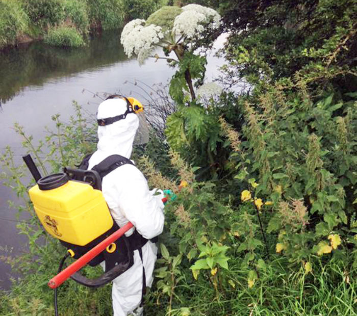 Hogweed treatment